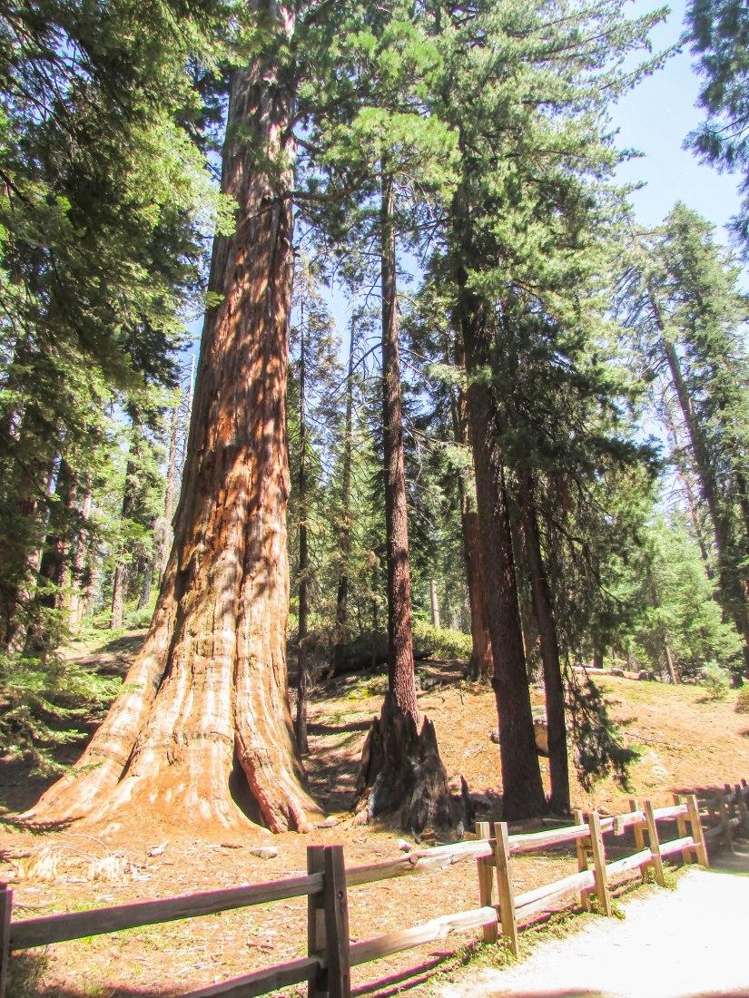 sequoia-park-usa-californie-forest-tree