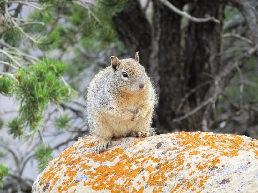 ecureuil-squirel-usa-westcoast-americanpark-grandcanyon