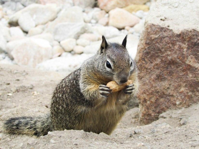 squirel-westcoast-peanuts-usa-roadtrip